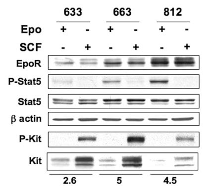 Stat5a antibody western blot Cell Signaling Technology