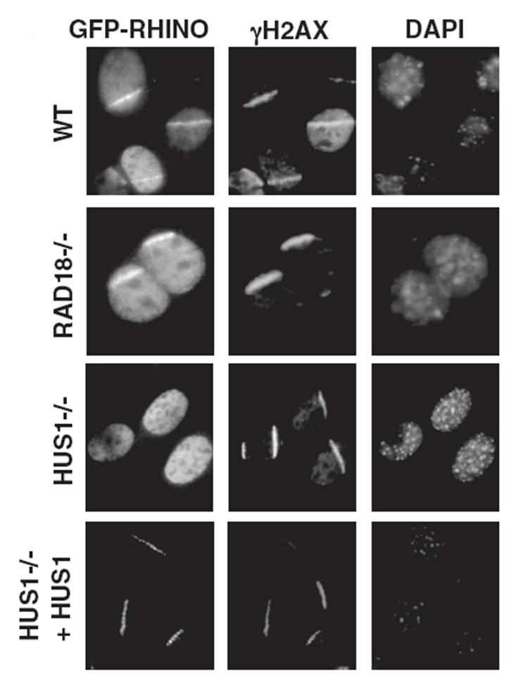 H2AX antibody immunocytochemistry EMD Millipore