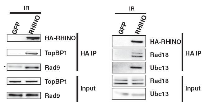 Rad9 antibody western blot Bethyl