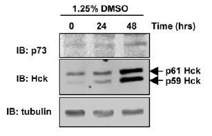 TUBA1A antibody western blot Santa Cruz Biotechnology