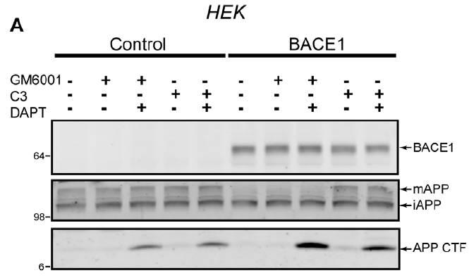APP antibody western blot EMD Millipore