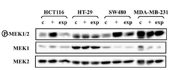 MEK1 antibody western blot Cell Signaling Technology