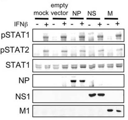 STAT2 antibody western blot EMD Millipore