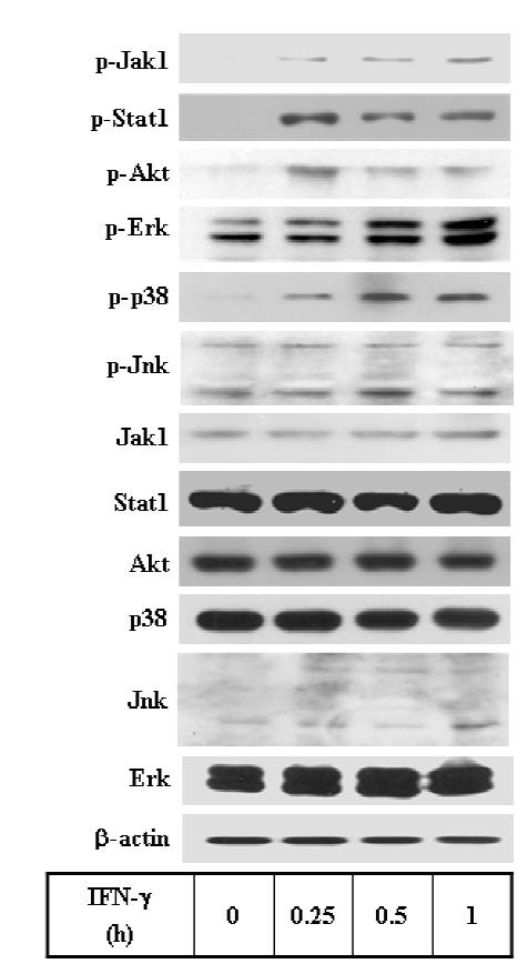 Akt antibody western blot Cell Signaling Technology