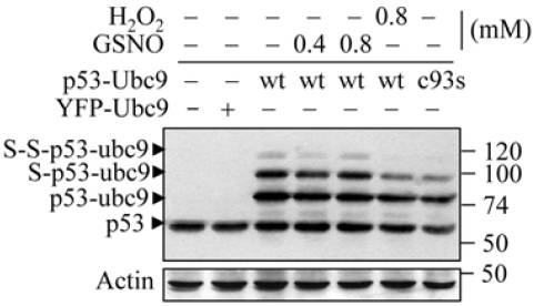 p53 antibody western blot Santa Cruz Biotechnology