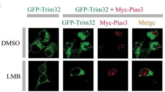 为了证明Pc2是一种新的SUMO结合蛋白,且Pc2所具有的2个SUMO相互作用模体(SIM)之一SIM2对于Pc2的E3连接酶活性是必须的,采用了Santa Cruz Biotechnology公司的抗ERK抗体进行免疫印迹实验。