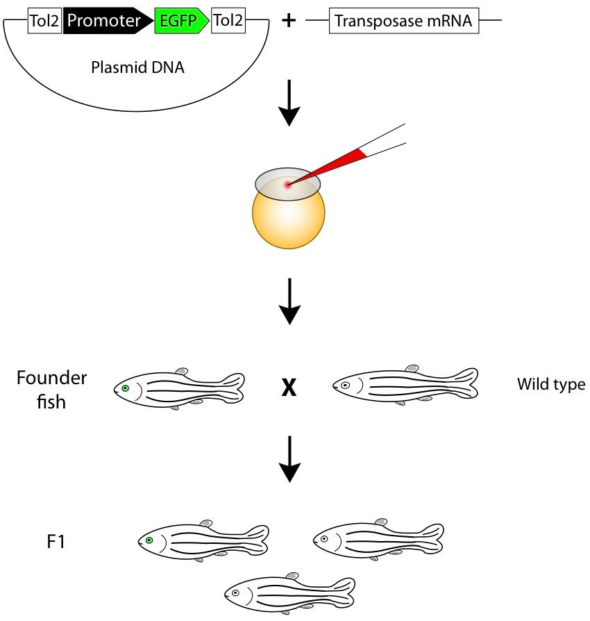 斑马鱼研究方法近况 图 3