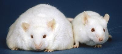 Лабораторные мыши и крысы Рисунок 4