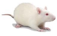 Лабораторные мыши и крысы Рисунок 5