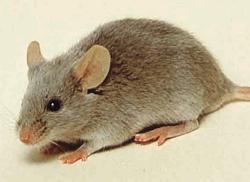 Лабораторные мыши и крысы Рисунок 8