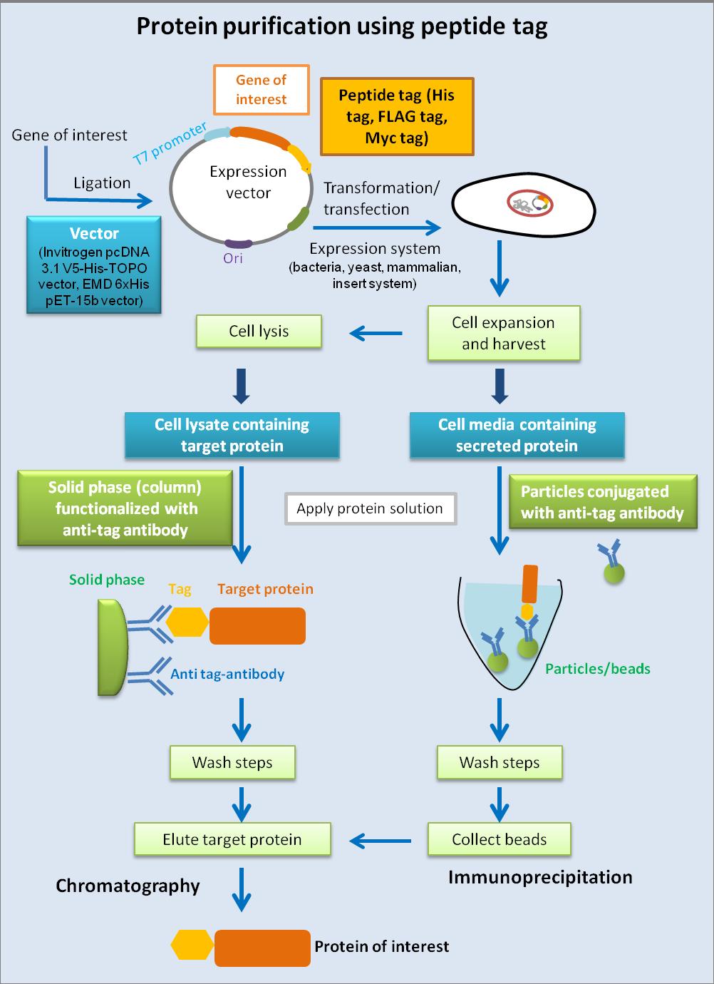 蛋白/肽标签 图 1