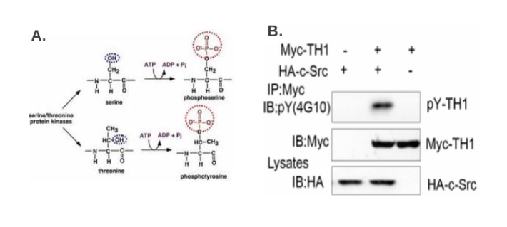 蛋白质修饰的研究方法 图 3