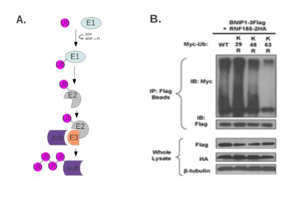 蛋白质修饰的研究方法 图 4