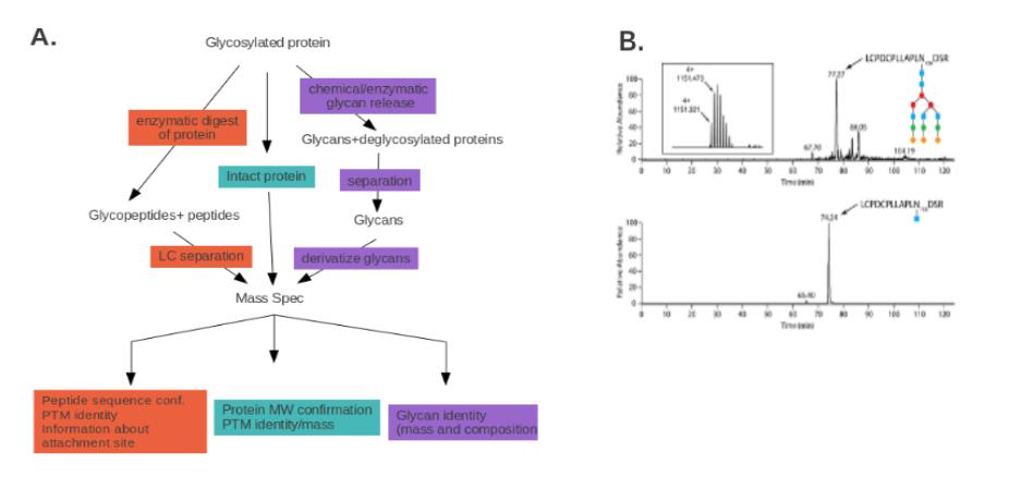 在过去20年来,质谱分析已成为确定蛋白质修饰类型和位点的必不可少的工具。质谱分析可用于纯化的蛋白质或蛋白质的混合????物,例如细胞裂解液 [2, 3] 。 质谱仪从蛋白样品产生气相离子,根据质荷比(m/z) 将其分开,并记录其丰度。质谱可用于多肽和蛋白质的分子量测定,多肽氨基酸序列的确定,和翻译后修饰的检测,以及多肽和蛋白质的相对定量。这种方法不能用于绝对定量。 质谱分析的样品制备,用限制性内切酶如胰蛋白酶把蛋白质或裂解液消化成小分子多肽片段。然后蒸发和分析这些多肽片段,以确定其m/z值。由于酶切位点是