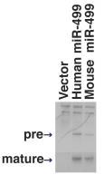 MicroRNA Experimental Protocol Figure 1