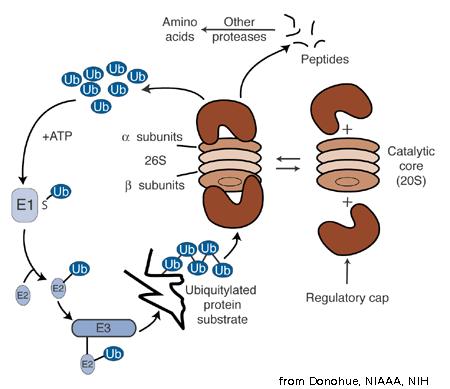 Протеасома ингибиторы Рисунок 1