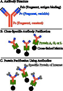 Выделение и очистка белков Рисунок 4
