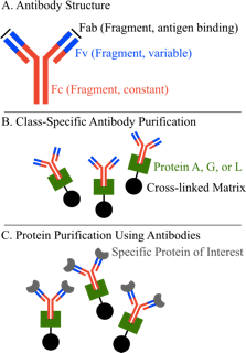 Protein Purification Figure 4