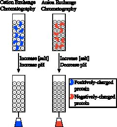 Выделение и очистка белков Рисунок 6