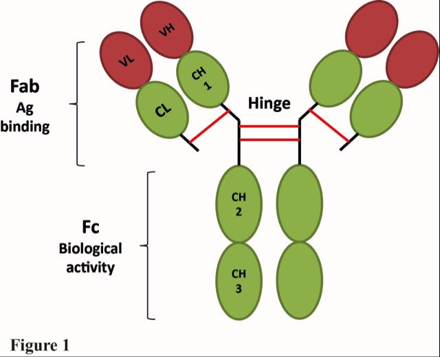 表达和纯化单克隆抗体:在一个基础研究实验室我们能做什么 图 1