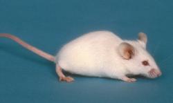 小鼠抗体 图 1