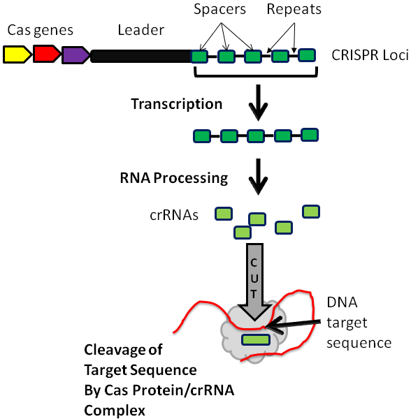 Sequence the crispr loci include cas genes a leader sequence and