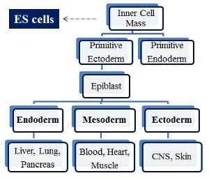 干细胞 图 1