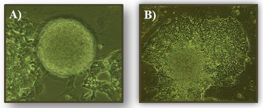 干细胞 图 2