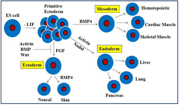 干细胞 图 4