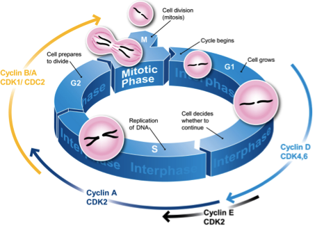 The Cell Cycle Analysis