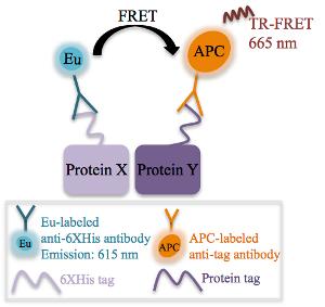 抗多组氨酸抗体 图 2