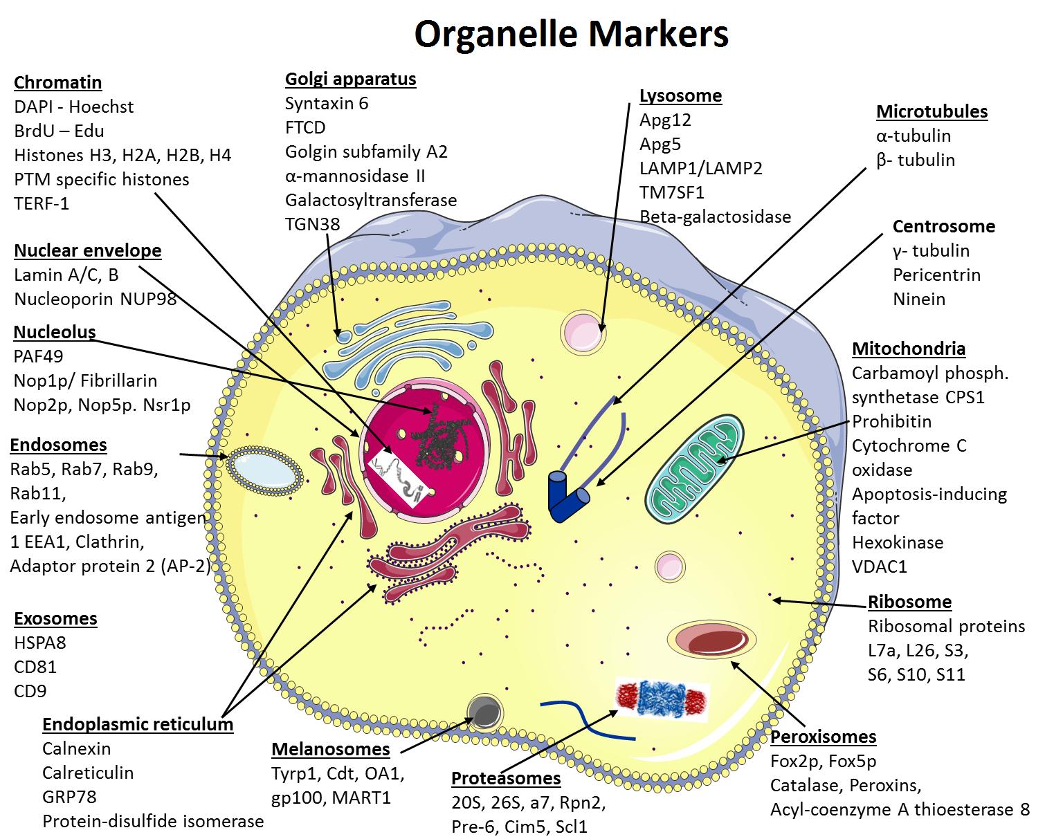 细胞器标记物和亚细胞分离 图 1