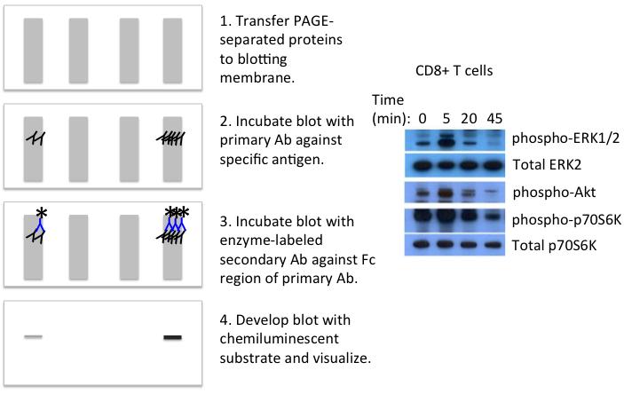 染色质免疫沉淀的流程示意图
