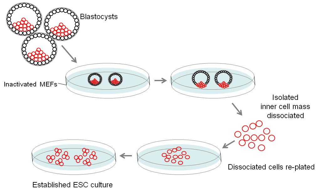 基于小鼠模型的干细胞研究 图 1