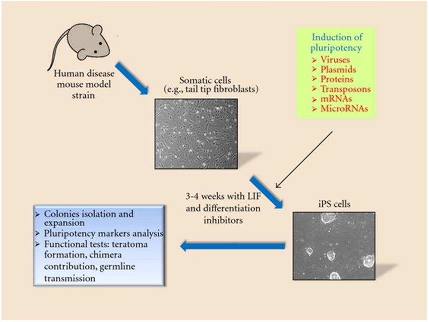 基于小鼠模型的干细胞研究 图 3