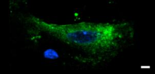 Маркеры нейрональных клеток Рисунок 1