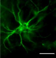 Маркеры нейрональных клеток Рисунок 4
