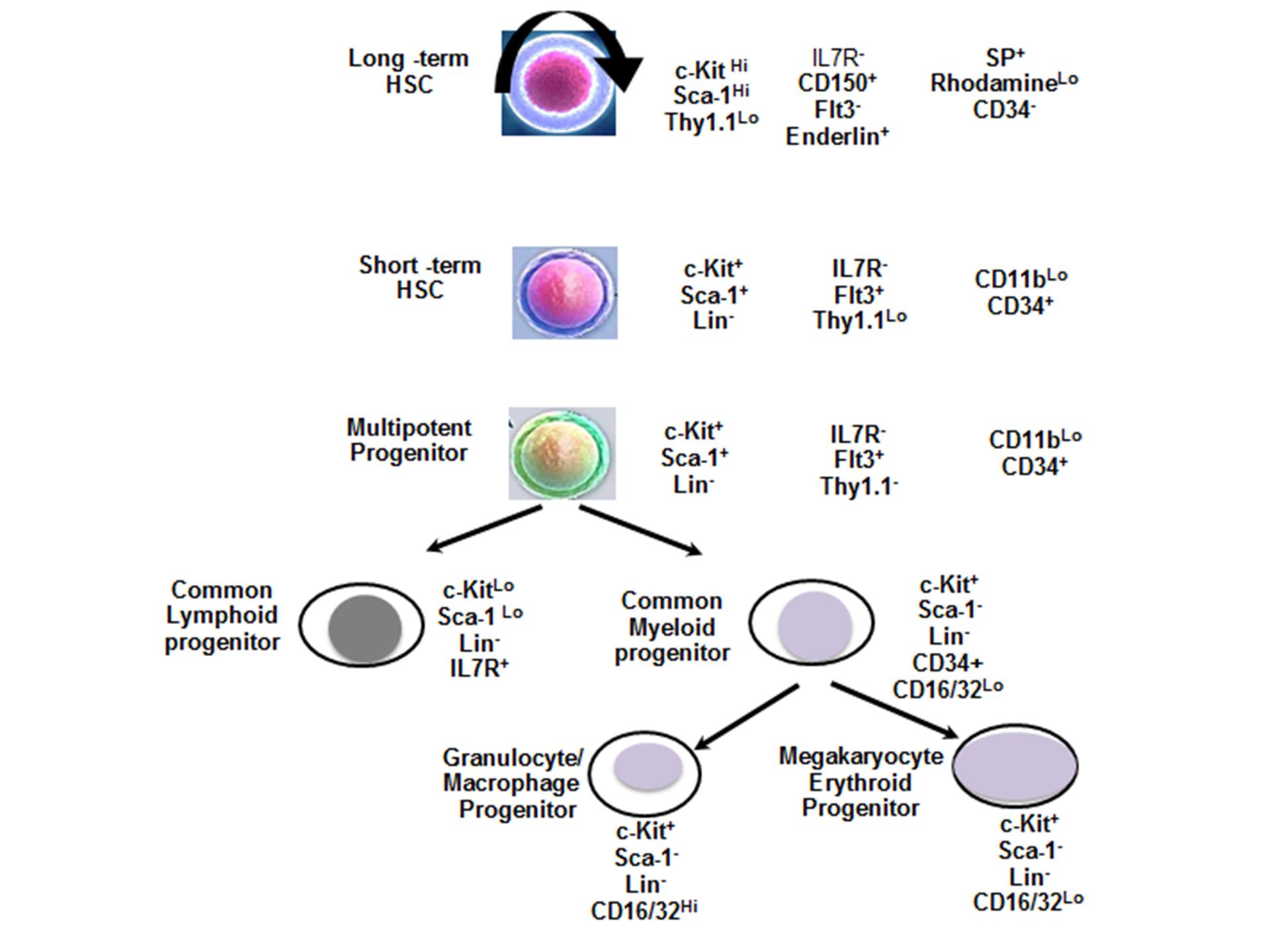 成体干细胞和胚胎干细胞标记物  图 2