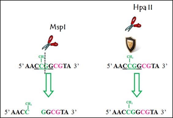 DNA 甲基化研究方法 图 2