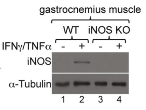 iNOS/NOS Type II antibody | knockout validation | BD