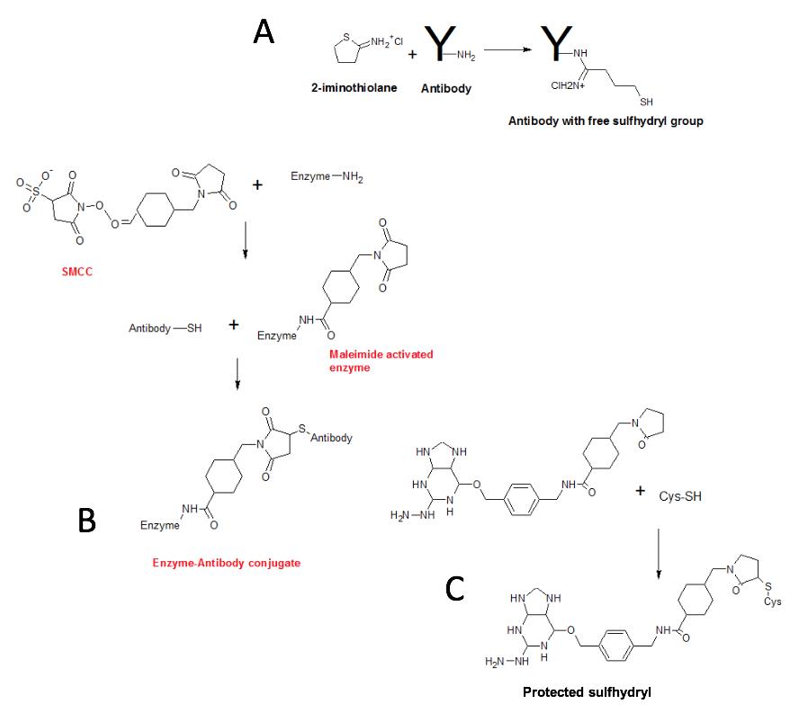 Antibody Conjugation
