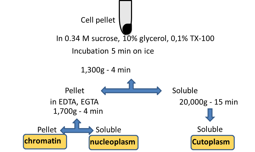 nuclei and mitochondrial fraction You probably know about the 23 pairs of chromosomes safely stowed in your cells' nuclei  genes—a very tiny fraction  mitochondrial dna is inherited.